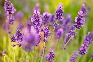 Lavender anxiety supplement